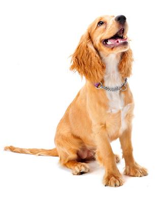 A cocker spaniel puppy in studio on white background